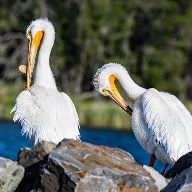 Pelicans on Rainy Lake Voyageurs National Park International Falls, Mn. U.S.