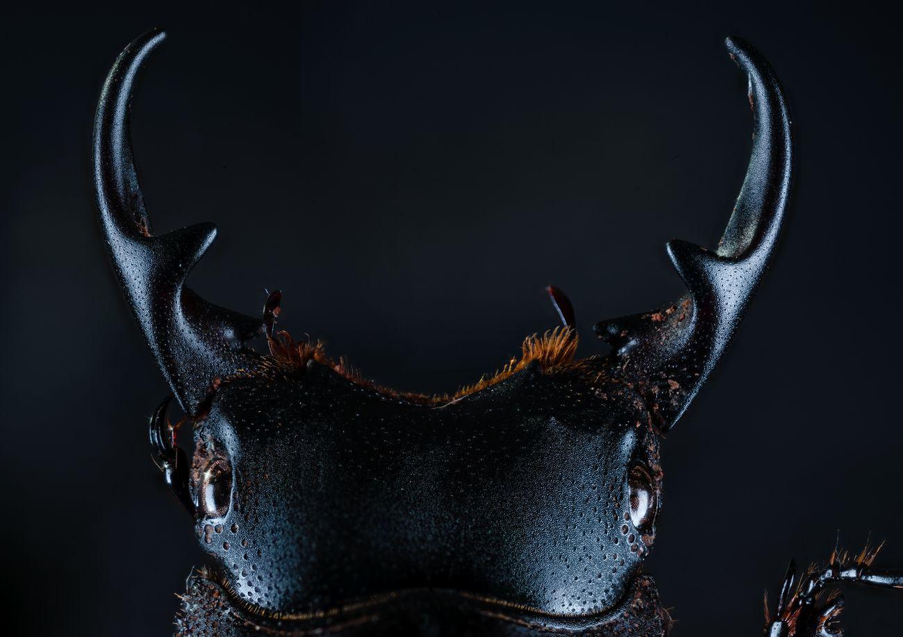 Aegus Laevicollis (Lucanidae)