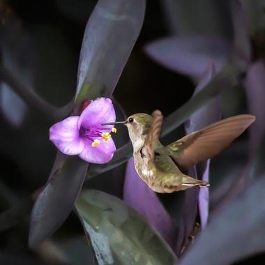 Hummingbird and Purple Heart (Tradescamtia Pallida) Flowers