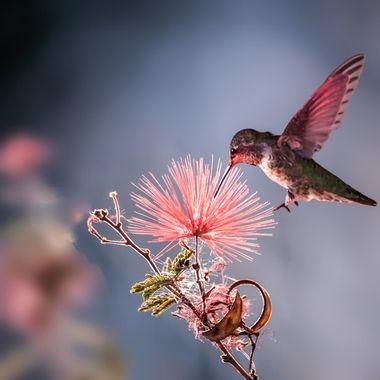 Hummingbird and Bottlebrush bush