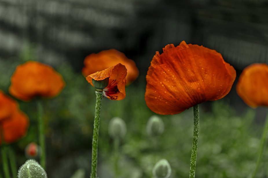 Poppy In Summer