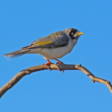 Noisy Miner in the afternoon sun