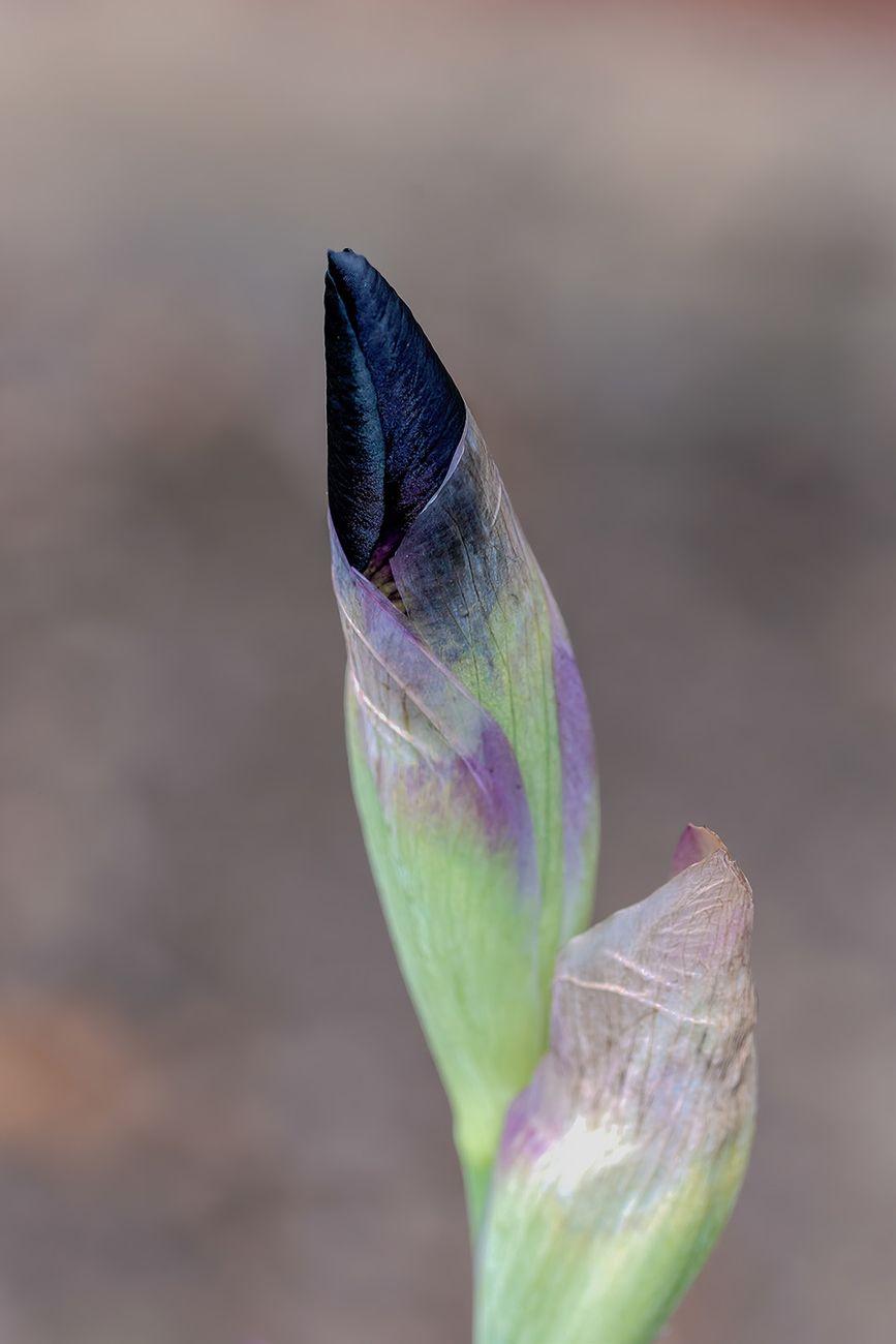 Iris Bud (3)