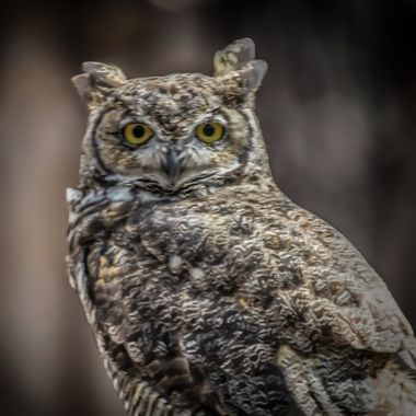 Horned Owl - I have this printed on metal on my living room wall. No matter where you sit, It appears this owl is looking right at you and only you. Make the photo fill your screen and test it yourself.