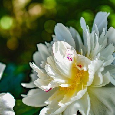Bokeh of petals