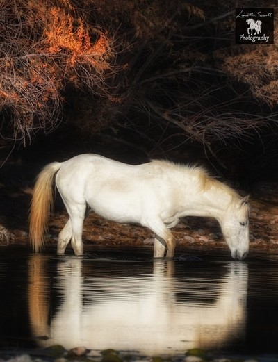 A grey stallion walking through the river during the fall
