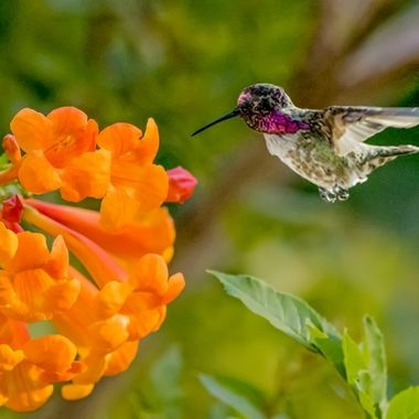 Hummingbird showing off it's colors