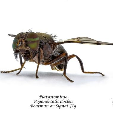 A 63 image stacked view of of a Male Signal or Boatman Fly at 3X magnification