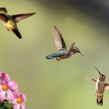 The Hummingbird Battle