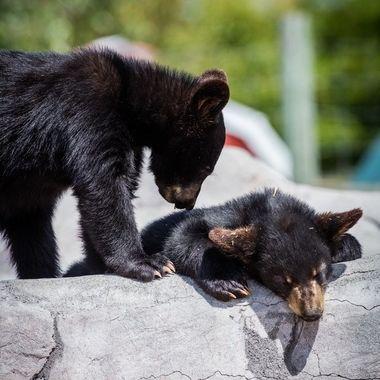 Bear World Bear cubs -4