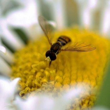 Tiny Bee Eating