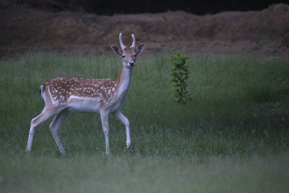 Made in June 2021 Big Cedar Exotic Ranch. Fallow deer year old Buck