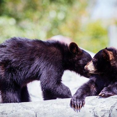 More of Bear World's baby bear cubs from Rexburg Idaho.