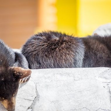 More baby bear cubs from Bear world in Rexburg, Idaho, western Yellowstone entrance.