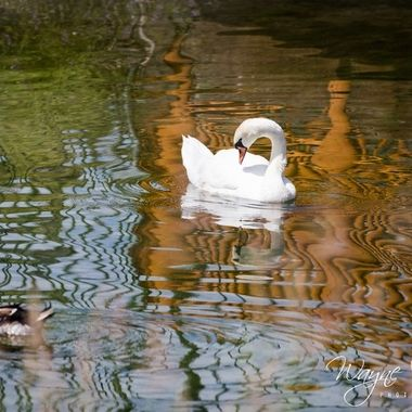 There was all kinds of different wildlife there at bear world, here we found swans as well as some ducks.