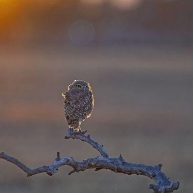 Burrowing Owl DSC02211