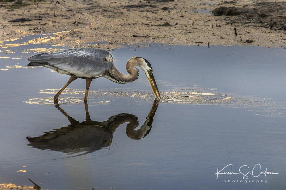 Great Blue Heron fishing at Montezuma National Wildlife Refuge