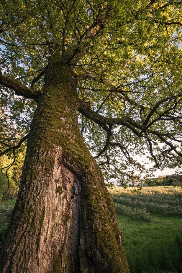 german oak