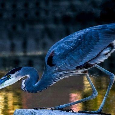 Blue Heron fishing for it's dinner