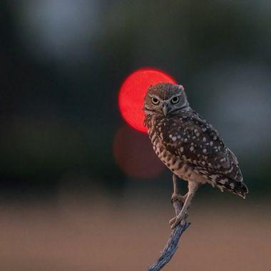 Burrowing Owl DSC09362