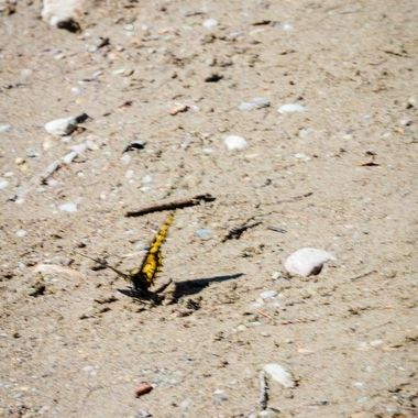 Butterflies were everywhere on our back route into glacier national park. We stopped at a few places along the Flathead river. At one spot there were butterfiles in one section just hanging out. If you'd get close they'd move off and then come right back.