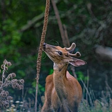 The morning light was great for a photo of this young whitetail buck in velvet with it's fresh summer coat