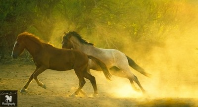two young stallions emerge from light and dust chasing each other.
