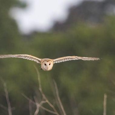 Barn Owl DSC02140