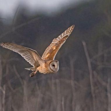 Barn Owl DSC02201