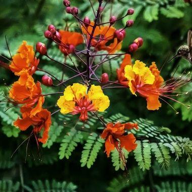 Bird of paradise bush and costa hummingbird.