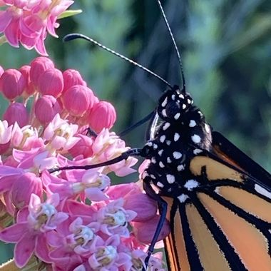 This is a closeup of Bell. I kept the 3 monarchs that emerged in my greenhouse overnight because the weather was very damp and cold.