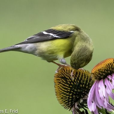 Goldfinch with echinacea  20210709 - Jim Frid - 327-Edit