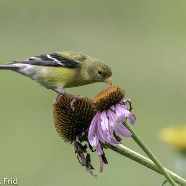 Female American Goldfinch on Echinacea  20210709 - Jim Frid - 329