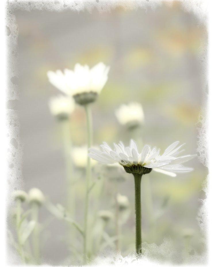 Morning daisies in the backyard garden glow in the sun.