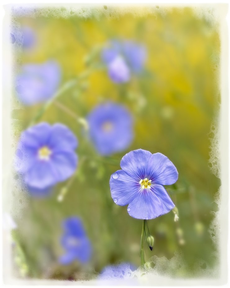 Flax in the garden with the beautiful blue glow...