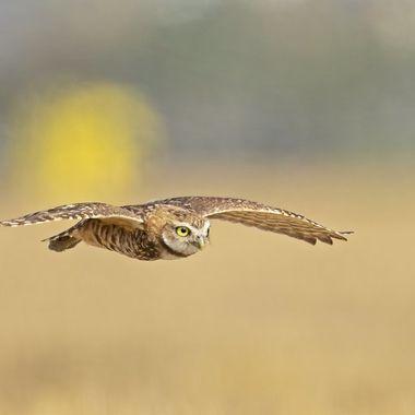 Burrowing Owl DSC02822