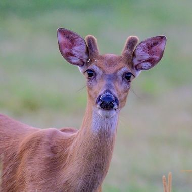 Curious whitetail buck in velvet checking me out