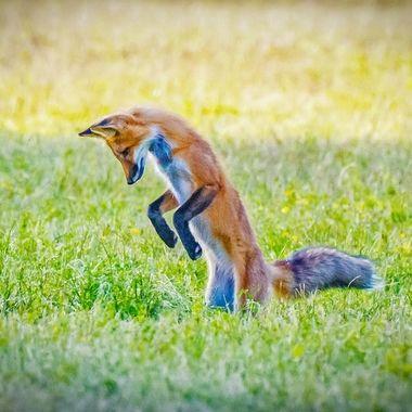 Red fox hunting mice Nikon 200-500 lens