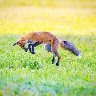 Red fox pouncing on a mouse