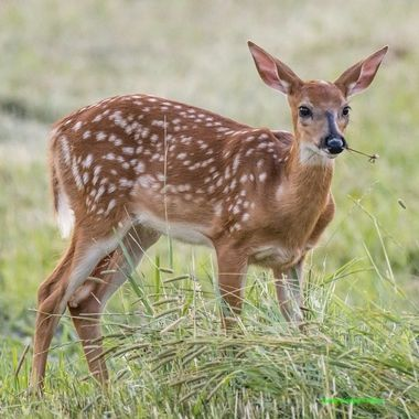 Whitetail fawn munching on a dandelion