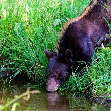 This young black bear was styling with it's blond mohawk running down it's back. Very unique!