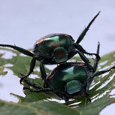 I found this pair on my grape leaves. I loved the light and how metallic they look.