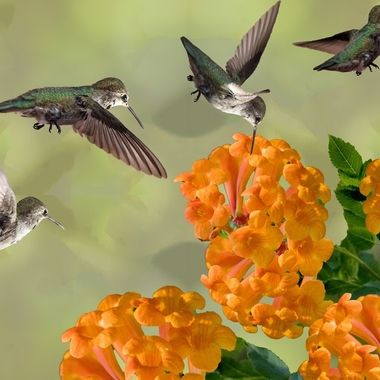 A Busy day in the life of a Costa Hummingbird