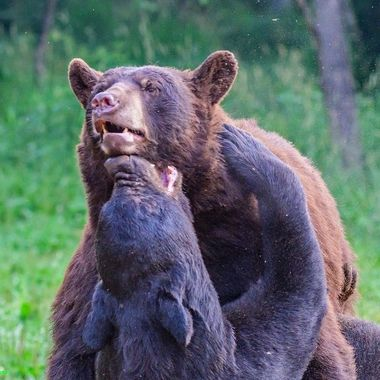 Two large black bears engaged in a lengthy fightthat was all in fun