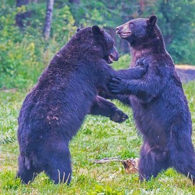 Two big black bear boars having a freindly brall