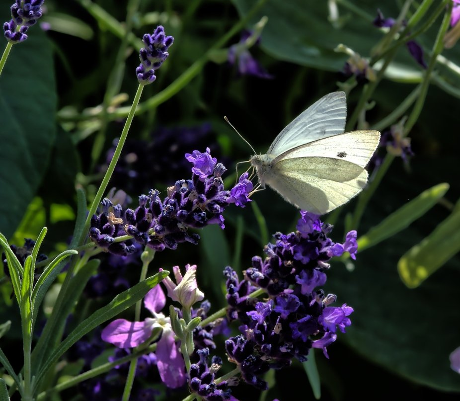 Also known as a Cabbage White