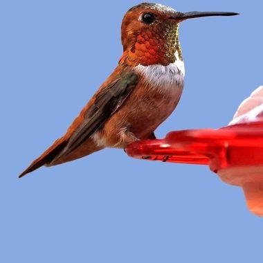 "Neighbors meet ""Ruby"". He is a Rufous Hummingbird visiting us."