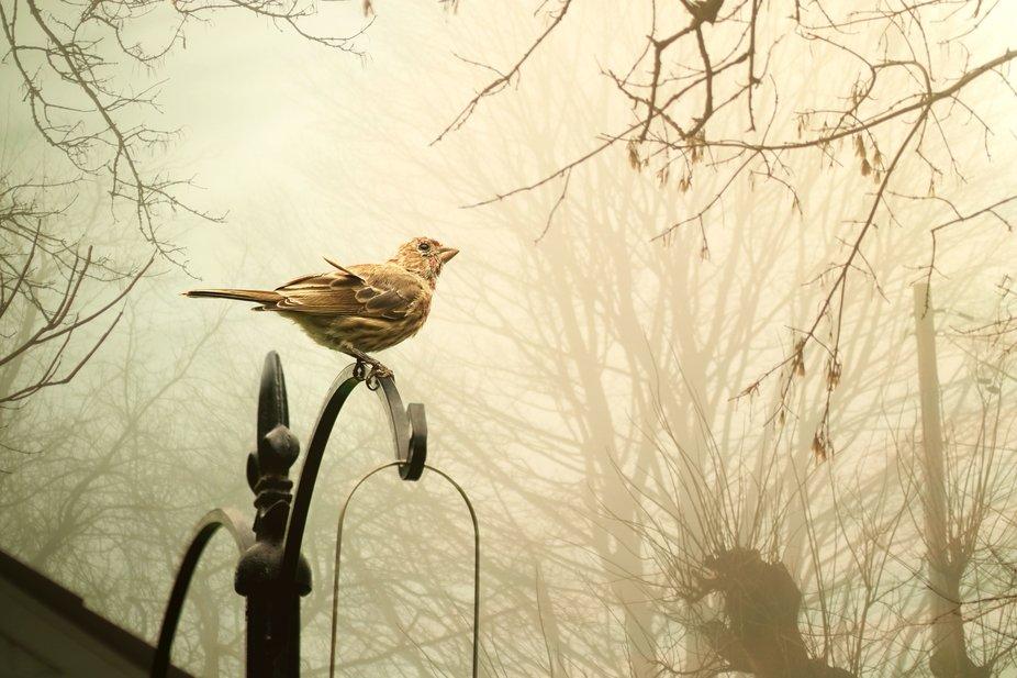 House Finch in Fog
