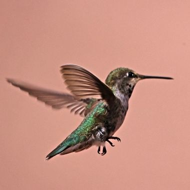 Olive (Costa Hummingbird) a family member for three years now. Says hello every morning