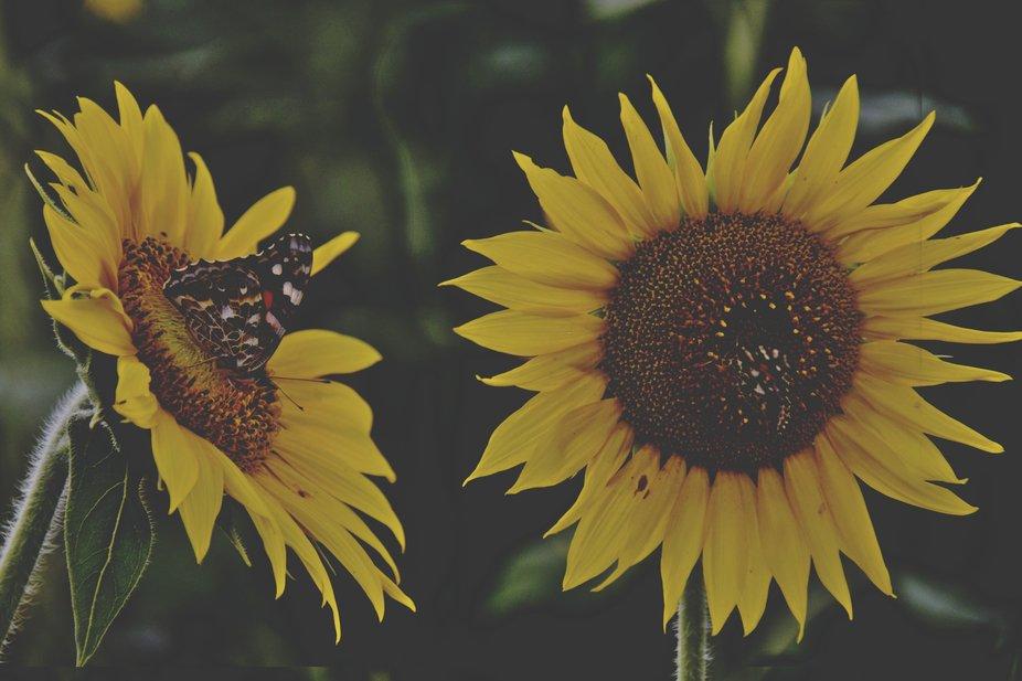 double sunflower and butterflies 2.JPG
